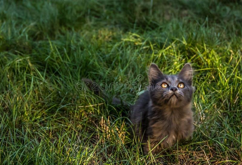 Grijs pluizig katje op een achtergrond van groen gras Kat in het gras stock foto's