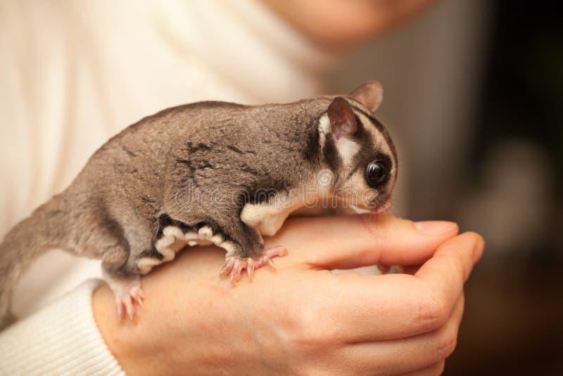 Grijs suikerzweefvliegtuig, glijdende opossumzetels op vrouwenhand royalty-vrije stock afbeelding