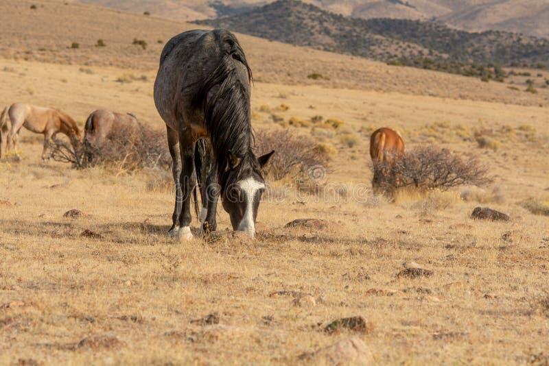 Grijs wild mustang in de woestijn royalty-vrije stock fotografie