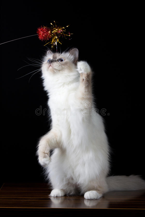 Grijs-witte longhair kat met het blauwe ogen spelen stock afbeeldingen