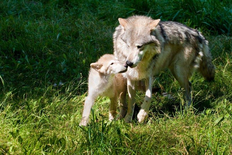 Grijs Wolf en Jong stock fotografie