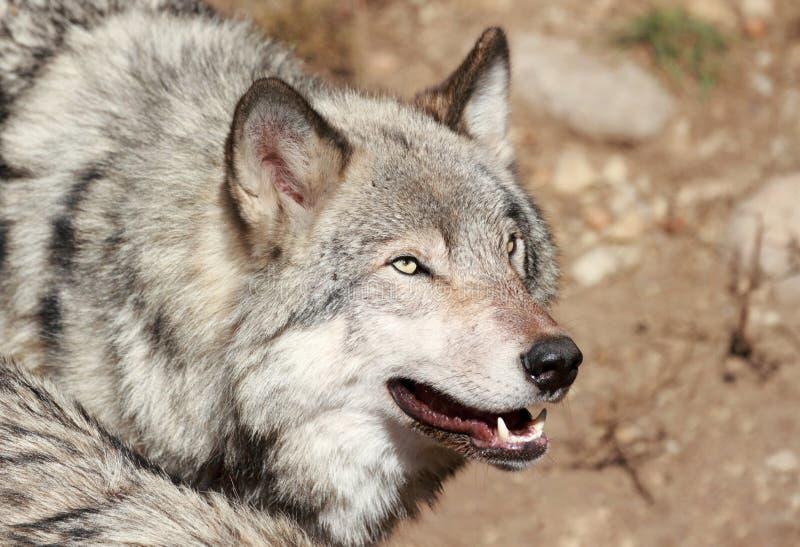 Grijs wolfsgezicht stock afbeelding