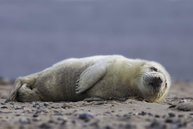 Grijs zeehondejong stock fotografie
