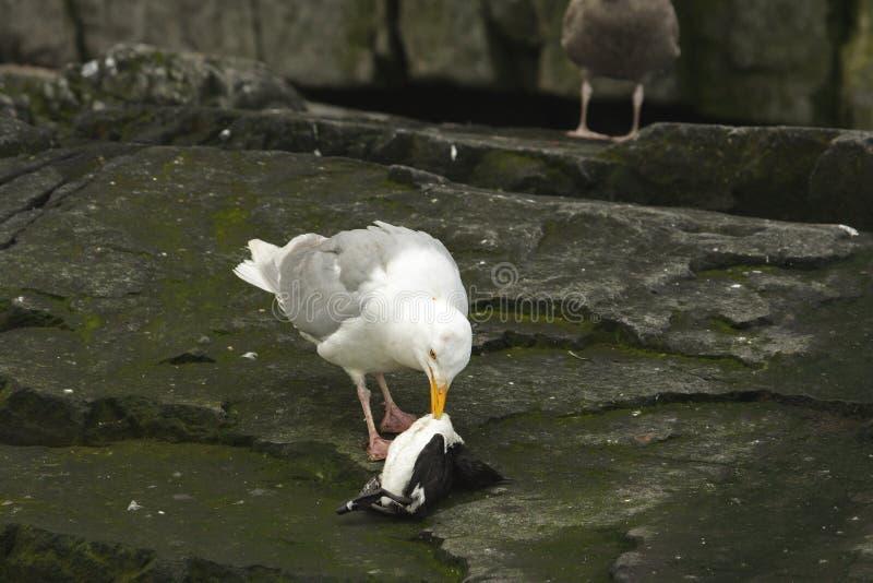 Grijsgroene zeemeeuw die een dode guiilemot eet stock fotografie