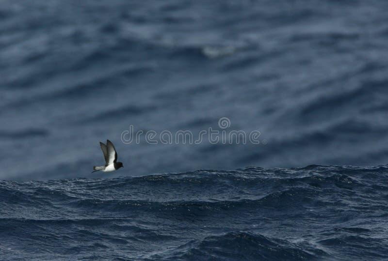 Grijsrugstormvogeltje, pétrel soutenu par gris, nereis de Garrodia image libre de droits