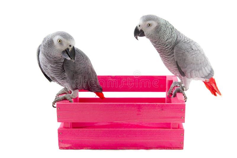 Grijze Afrikaanse papegaaien stock foto