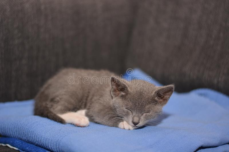 Grijze babykat stock afbeelding