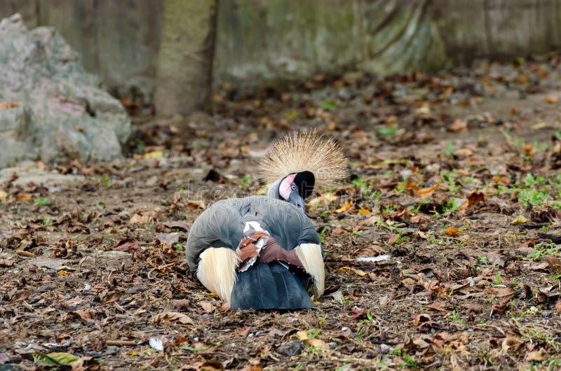 Grijze bekroonde kraan in dierentuin royalty-vrije stock afbeeldingen