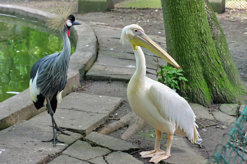Grijze bekroonde kraan en grote witte pelikaan royalty-vrije stock afbeelding