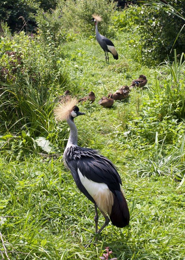 Grijze bekroonde kraanvogels stock foto's