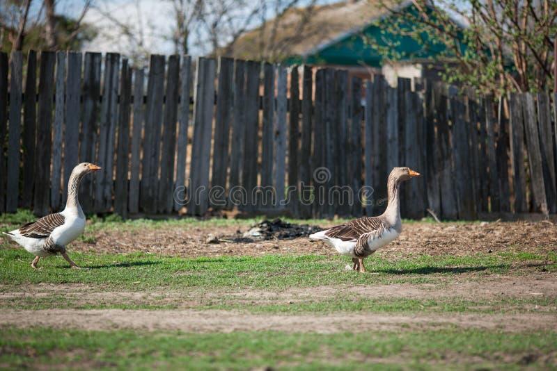 Grijze binnenlandse ganzengang rond het dorp royalty-vrije stock foto's