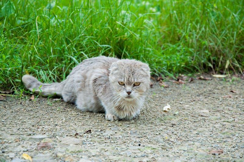 grijze boze kattenzitting ter plaatse stock foto's