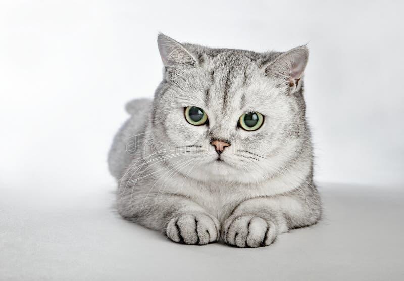 Grijze Britse Shorthair Portret die van Britse Shorthair-kat op een grijze achtergrond liggen stock fotografie