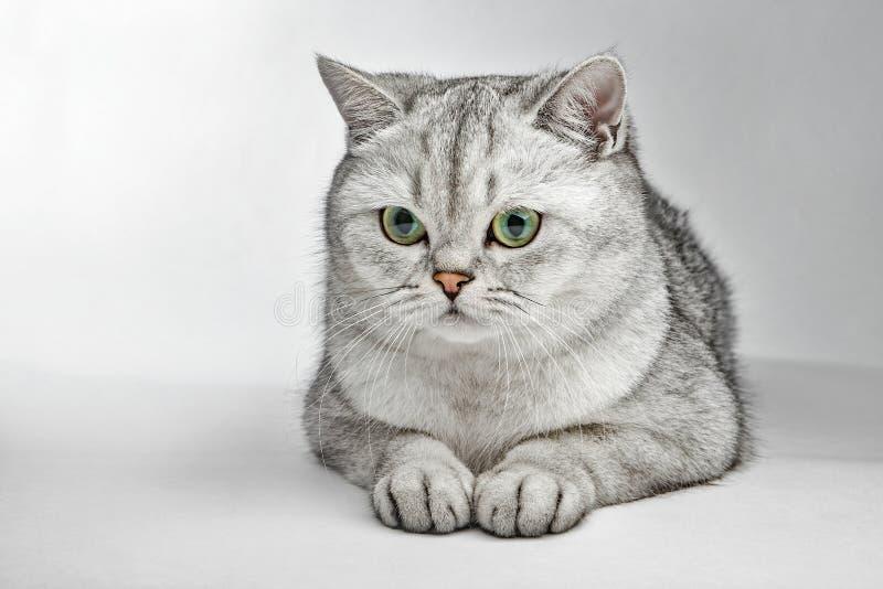 Grijze Britse Shorthair Portret die van Britse Shorthair-kat op een grijze achtergrond liggen royalty-vrije stock afbeelding