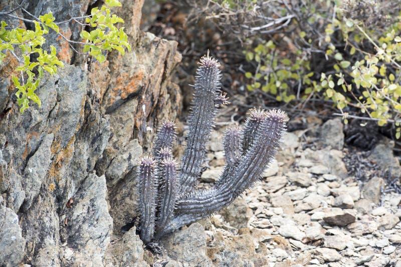 Grijze cactus royalty-vrije stock foto's