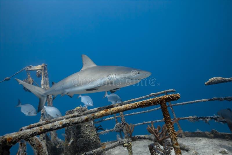 Grijze de ertsaderhaai van Carcharhinusamblyrhynchos stock fotografie