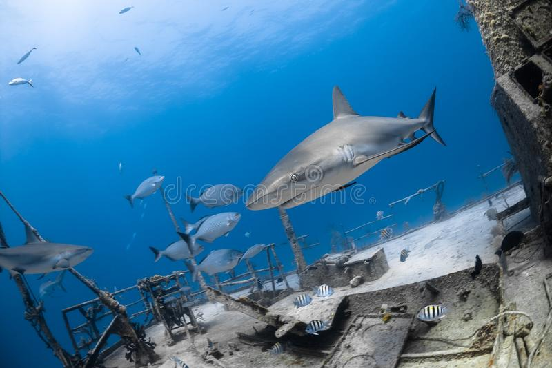 Grijze de ertsaderhaai van Carcharhinusamblyrhynchos stock afbeelding