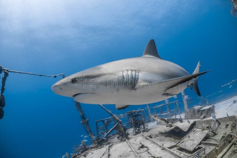 Grijze de ertsaderhaai van Carcharhinusamblyrhynchos royalty-vrije stock fotografie