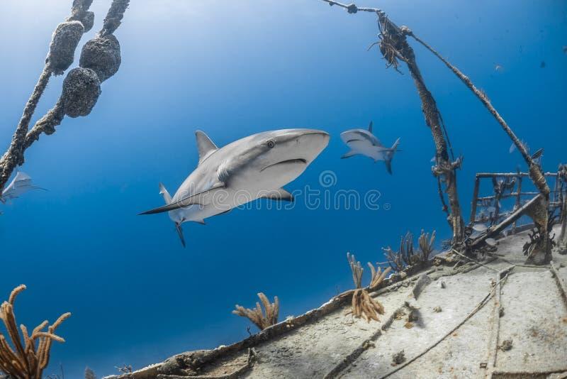 Grijze de ertsaderhaai van Carcharhinusamblyrhynchos royalty-vrije stock foto