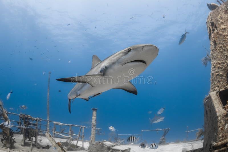 Grijze de ertsaderhaai van Carcharhinusamblyrhynchos stock foto's