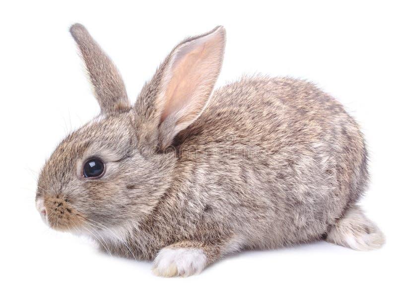 Grijze die konijntjeszitting op witte achtergrond wordt geïsoleerd stock fotografie
