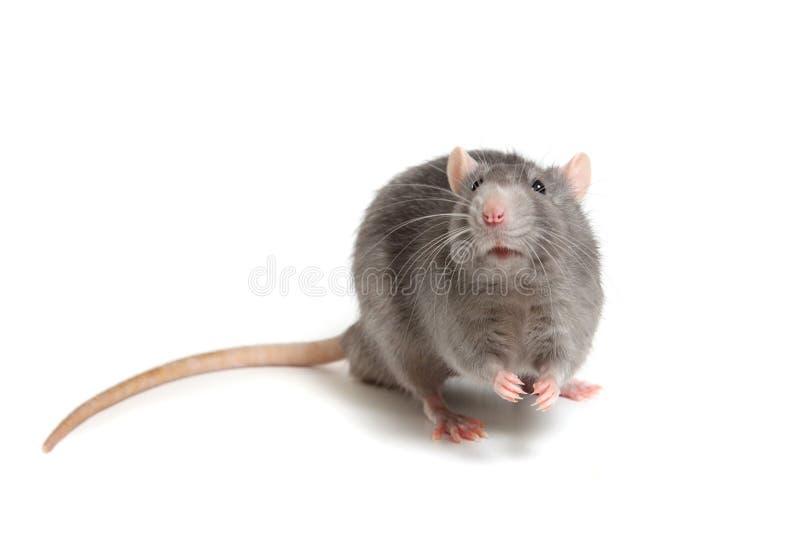 Grijze die rat op witte achtergrond wordt geïsoleerd royalty-vrije stock foto