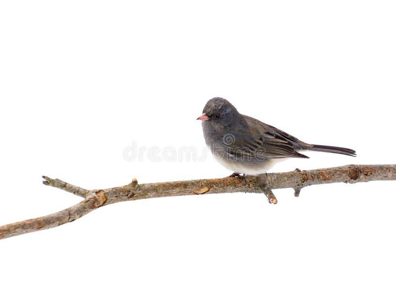 Grijze die vogel op een geïsoleerde tak wordt neergestreken stock afbeeldingen