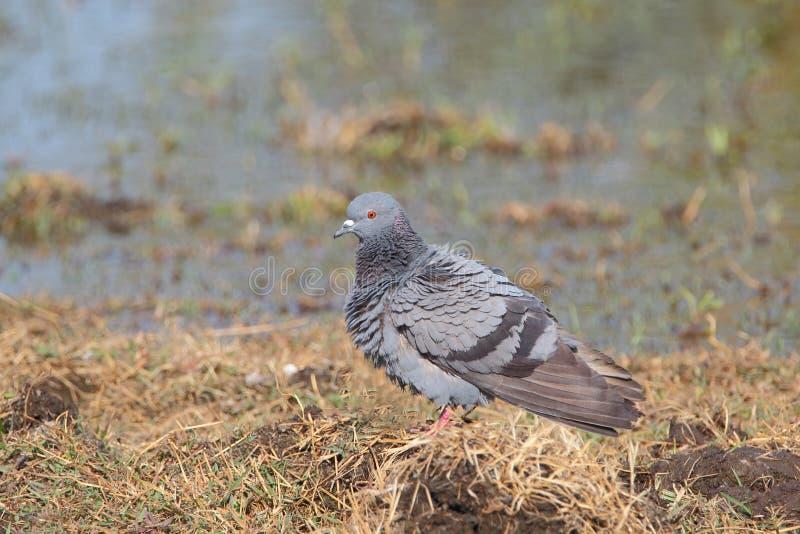 Grijze duif in natuurlijke plaats royalty-vrije stock afbeelding
