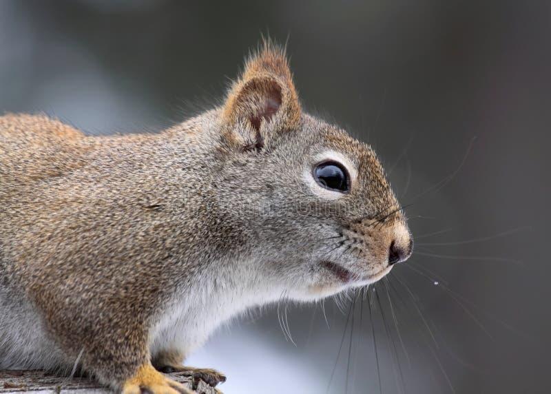 Grijze eekhoorn royalty-vrije stock fotografie