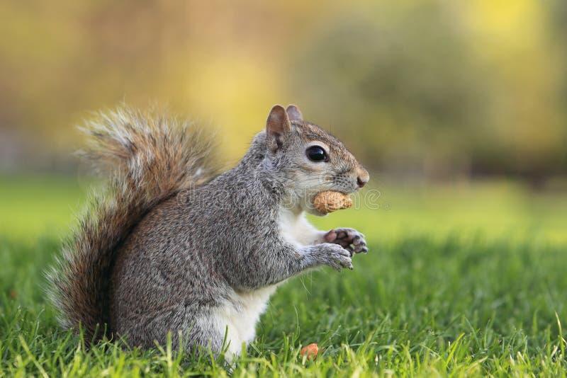 Grijze eekhoorn royalty-vrije stock foto