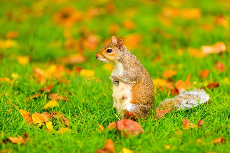 Grijze eekhoorn in de herfstpark royalty-vrije stock afbeeldingen