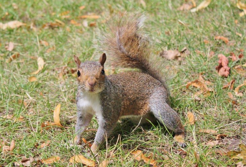 Grijze eekhoorn dichte omhooggaand op gras met dichtbegroeide staart stock afbeeldingen