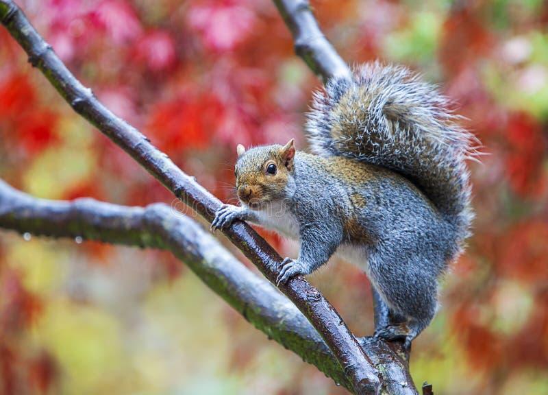 Grijze eekhoorn die op boomtak staat royalty-vrije stock afbeelding