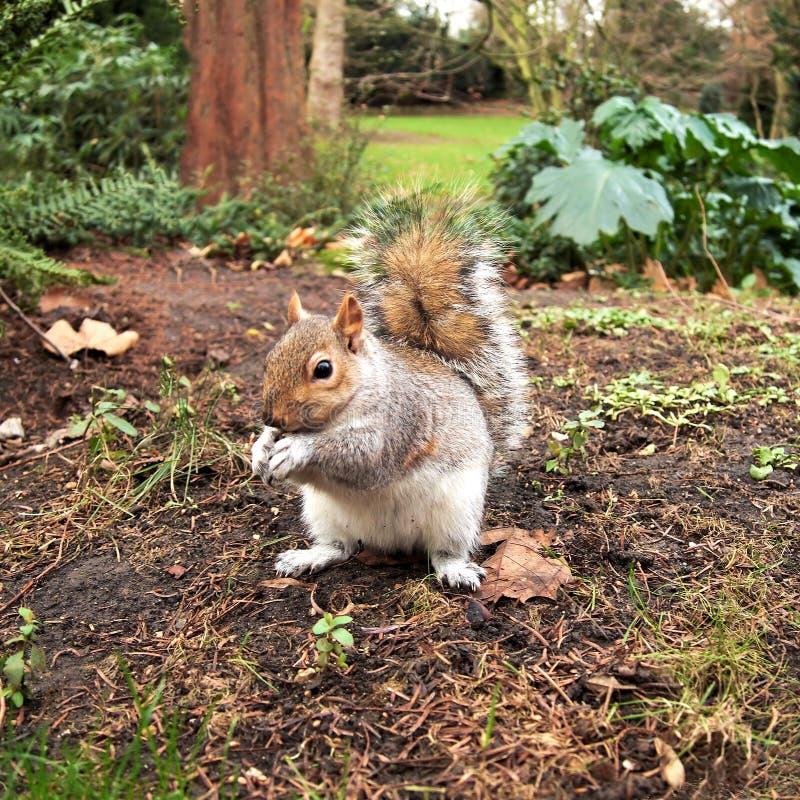 Grijze eekhoorn, Hyde park, Londen royalty-vrije stock afbeelding