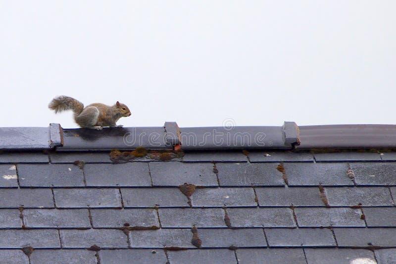 Grijze eekhoorn op dak stock foto
