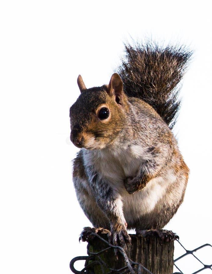Grijze eekhoorn op een fencepost royalty-vrije stock afbeeldingen