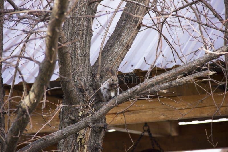 Grijze eekhoornzitting op de takken van een boom zonder bladeren stock afbeeldingen