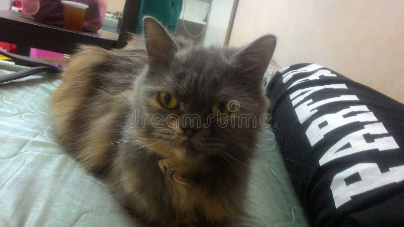 grijze en gouden kat royalty-vrije stock afbeelding