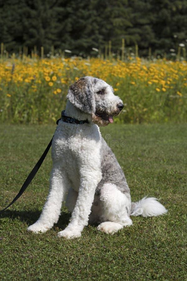 Grijze en Witte Hond op leiband in park stock afbeelding
