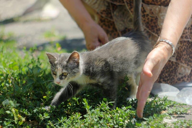 Grijze en witte kat in vrouwen` s handen stock fotografie