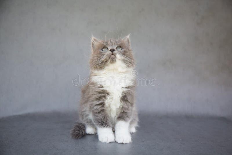 Grijze en Witte Kitten Looking Up stock afbeelding