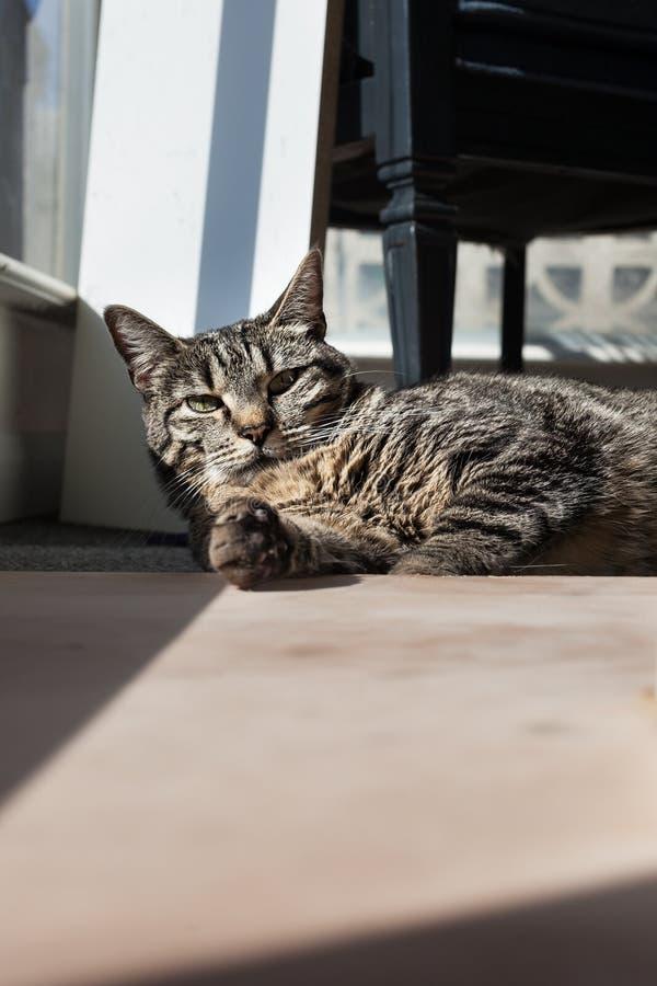 Grijze en zwarte kattenpoot die uit bereiken stock foto's