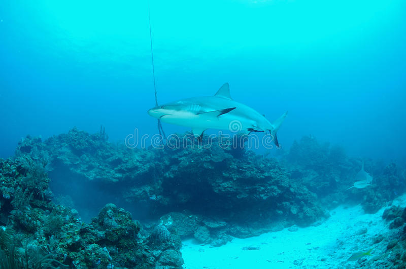 Grijze ertsaderhaai stock foto