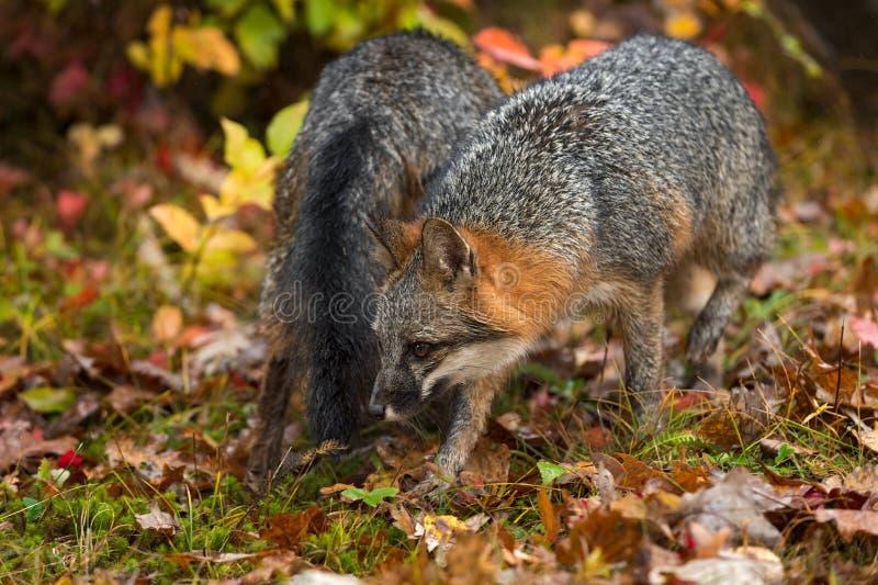 Grijze foxes Urocyon cinereoargenteus passeren elkaar in het najaar stock afbeelding