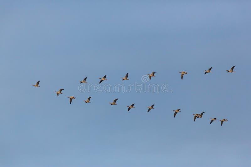 Grijze ganzen anser anser vogels die in v-Vorming tijdens migr vliegen royalty-vrije stock afbeelding