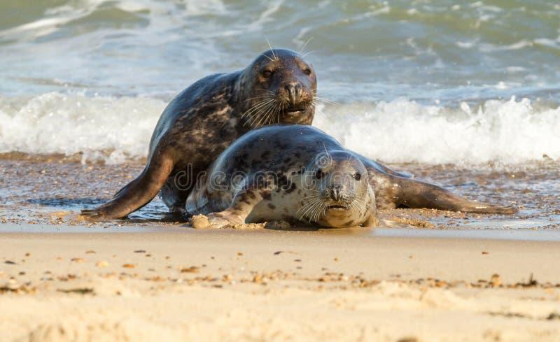 Grijze gemeenschappelijke verbinding twee bij strand het spelen stock fotografie