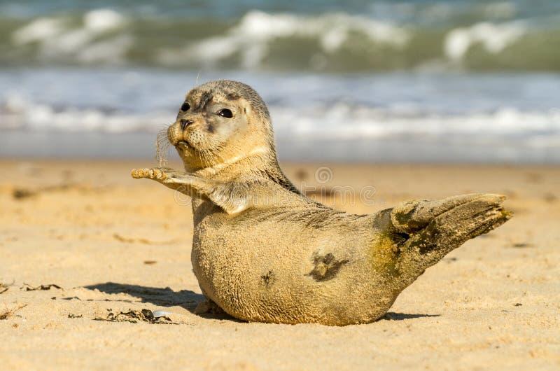 Grijze gemeenschappelijke zeehondejongwelp op zandig strand stock afbeelding
