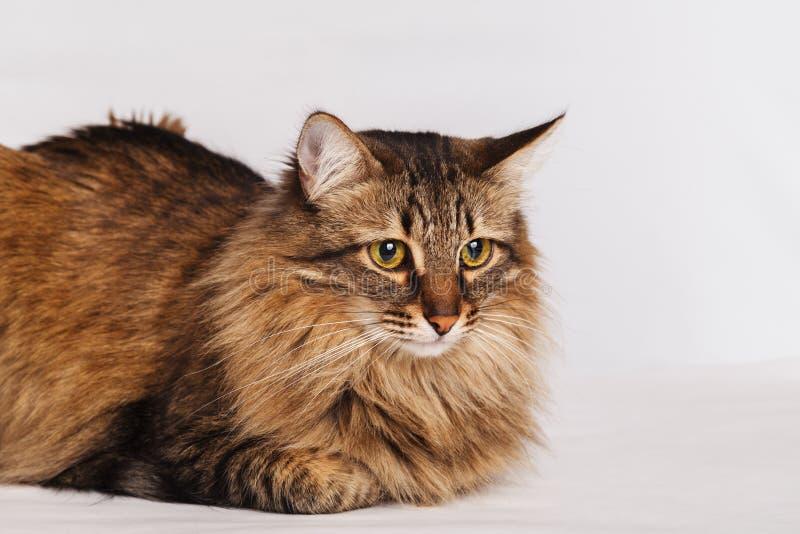 Grijze gestreepte kat bont leuke kat die op een lichte muurachtergrond liggen, close-up Gestreepte pluizige kat met een lang snor stock afbeelding