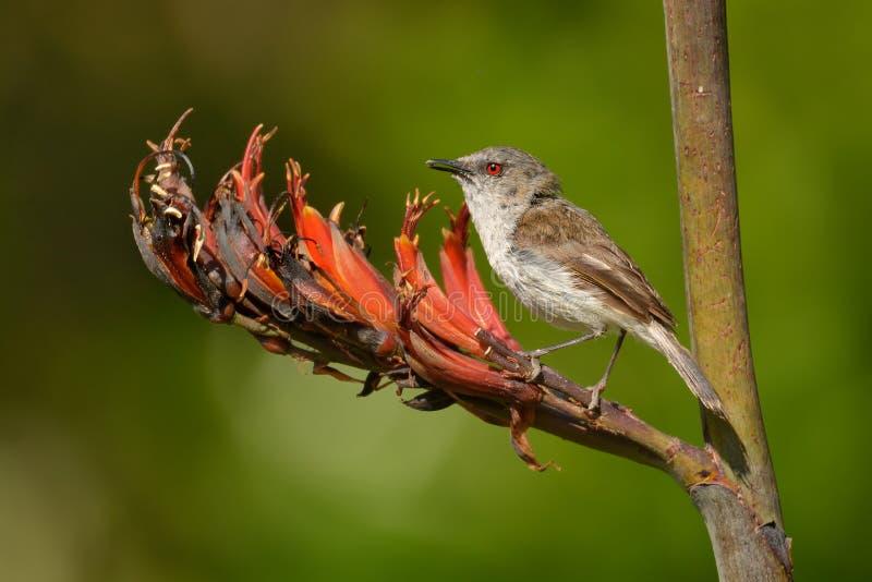 Grijze grasmus - Gerygone-igata - riroriro gemeenschappelijke kleine vogel van Nieuw Zeeland stock afbeelding