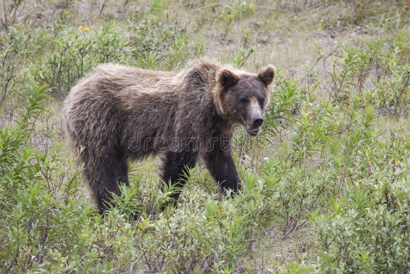 Grijze Grizzly royalty-vrije stock fotografie